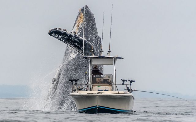 A whale breaches extremely close to a fishing boat in Monterey Bay.