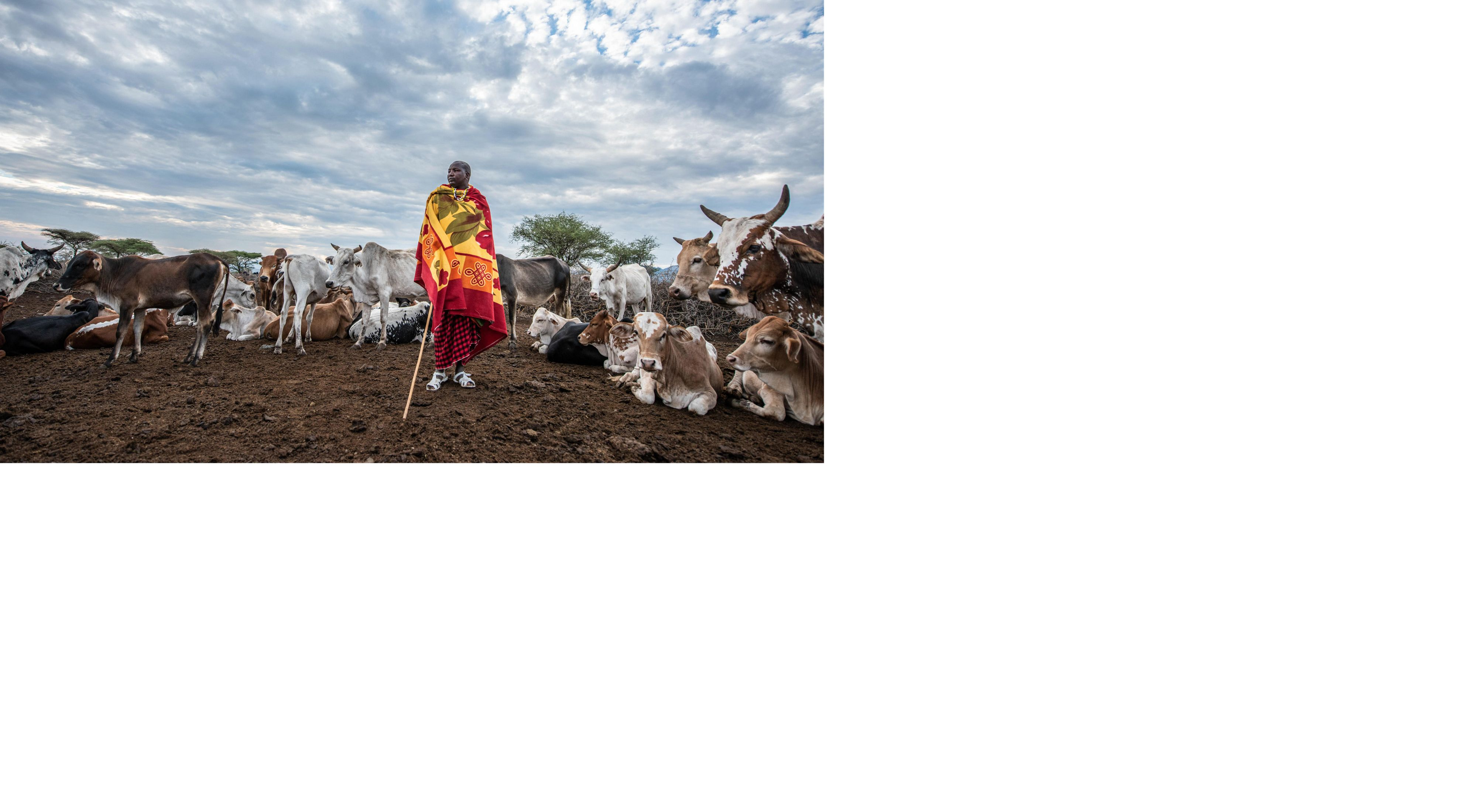 Herder in front of his cattle