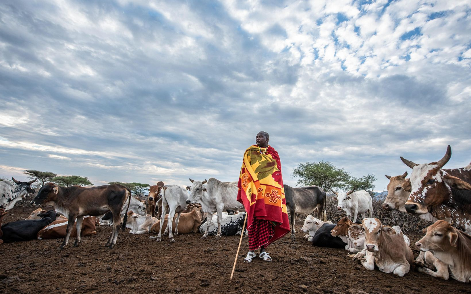 man stands in front of cattle
