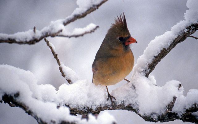 A female cardinal perches on a snowy tree branch