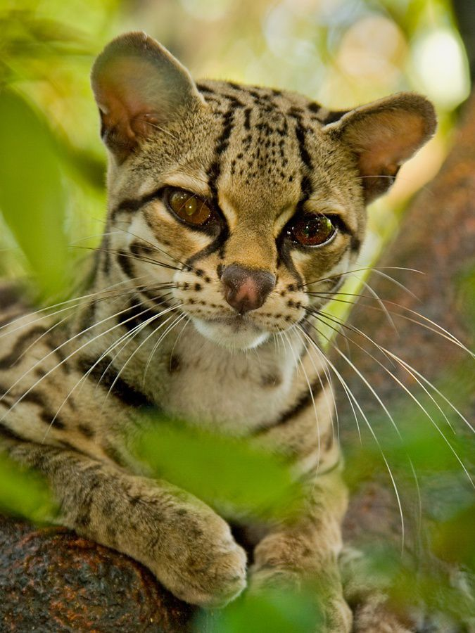 a close-up of a margay, a small type of leopard