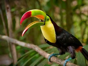 A vibrantly colored keel-billed toucan perches on a branch in  forest.