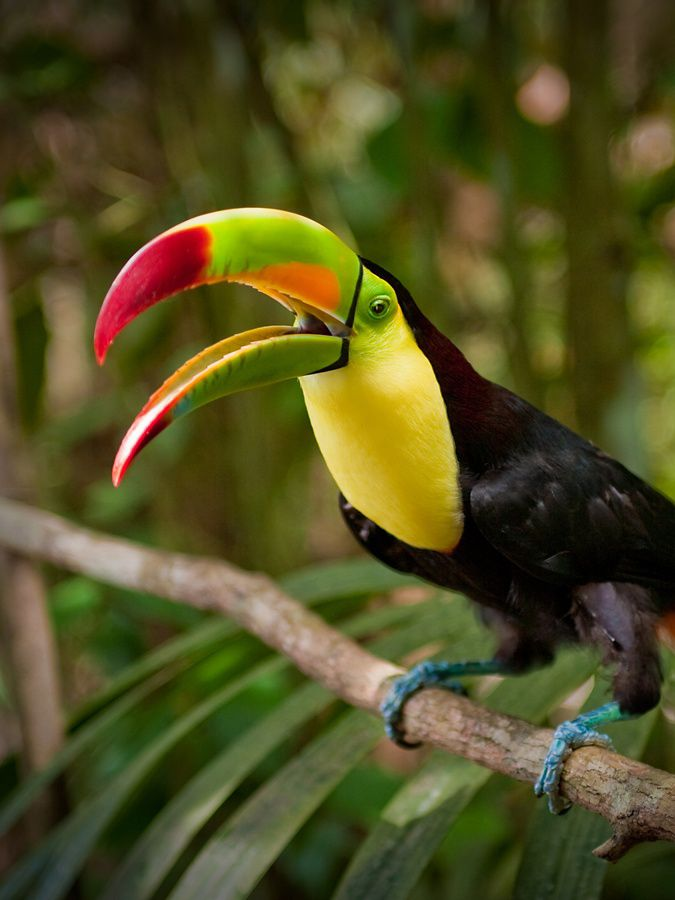 a keel-billed toucan perches on a branch