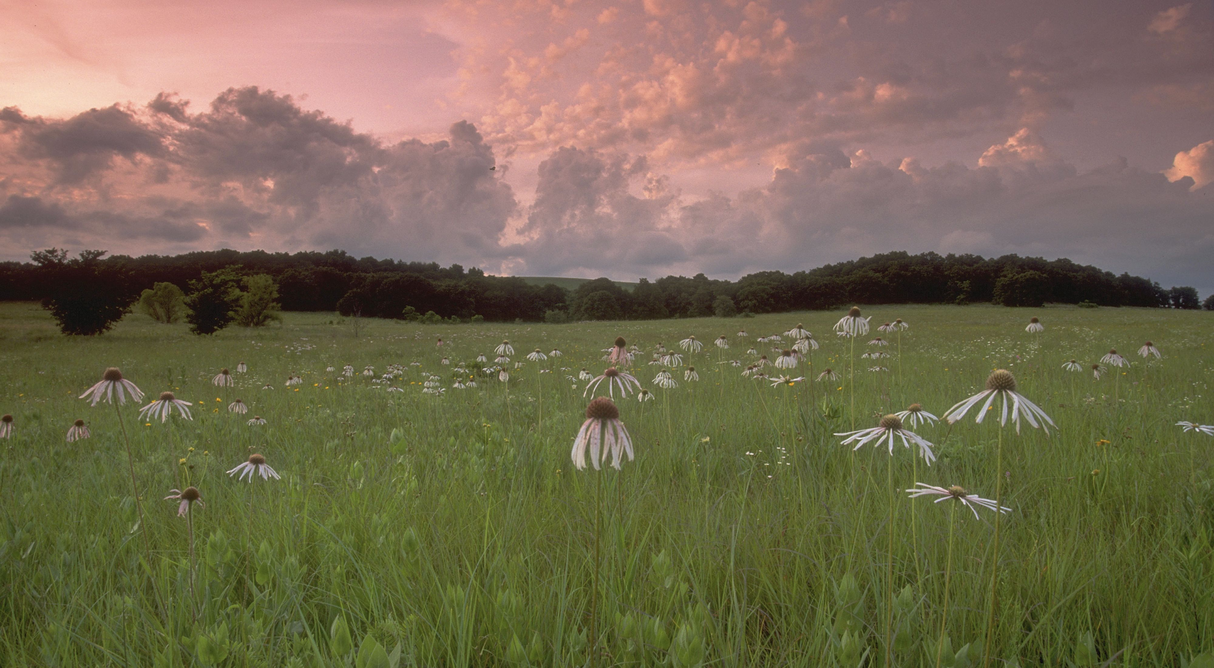 Field of coneflowers at sunset.