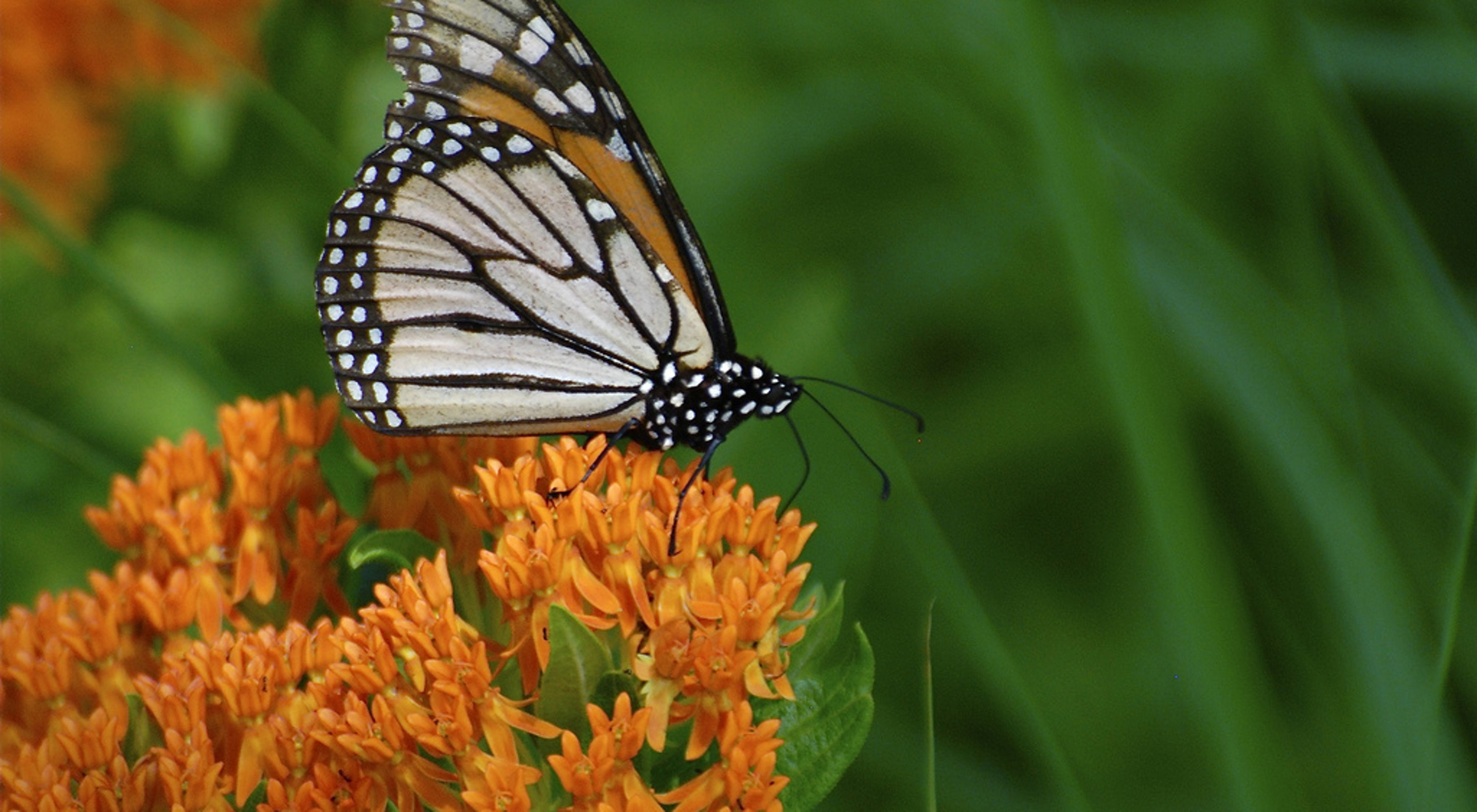 Orange and black butterfly on bright orange plant