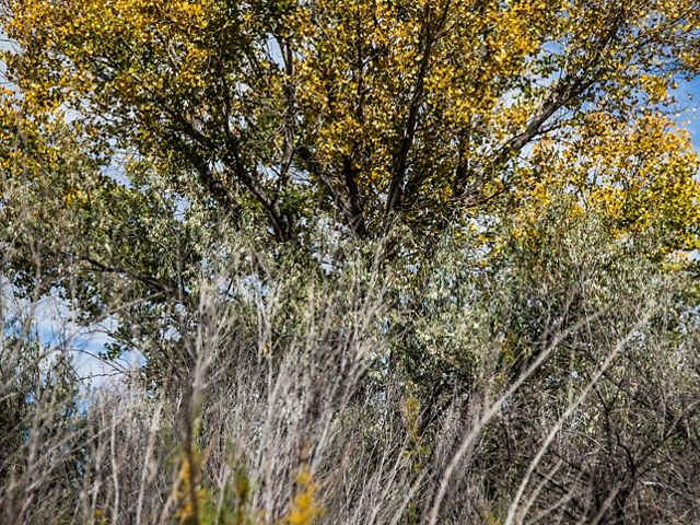A cottonwood tree with yellow leaves in the background and a thicket of mostly leafless shrubs in the foreground.