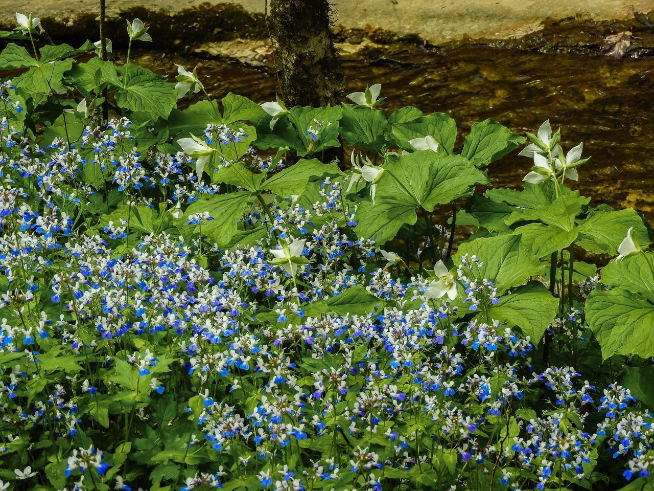 Small blue and white flowers blanket a forest floor.