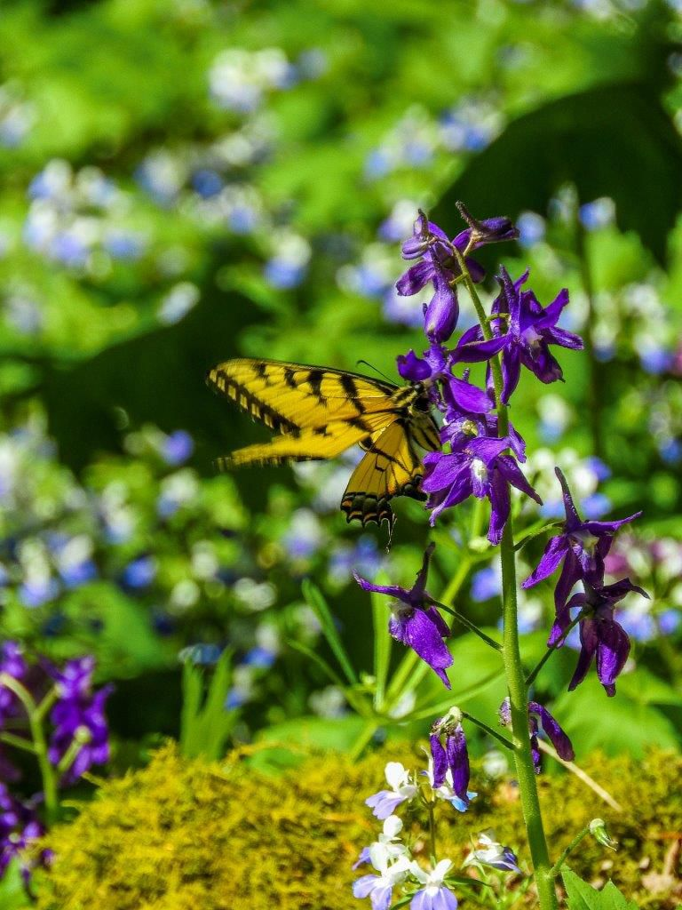 A butterfly visits purple flowers in bloom.