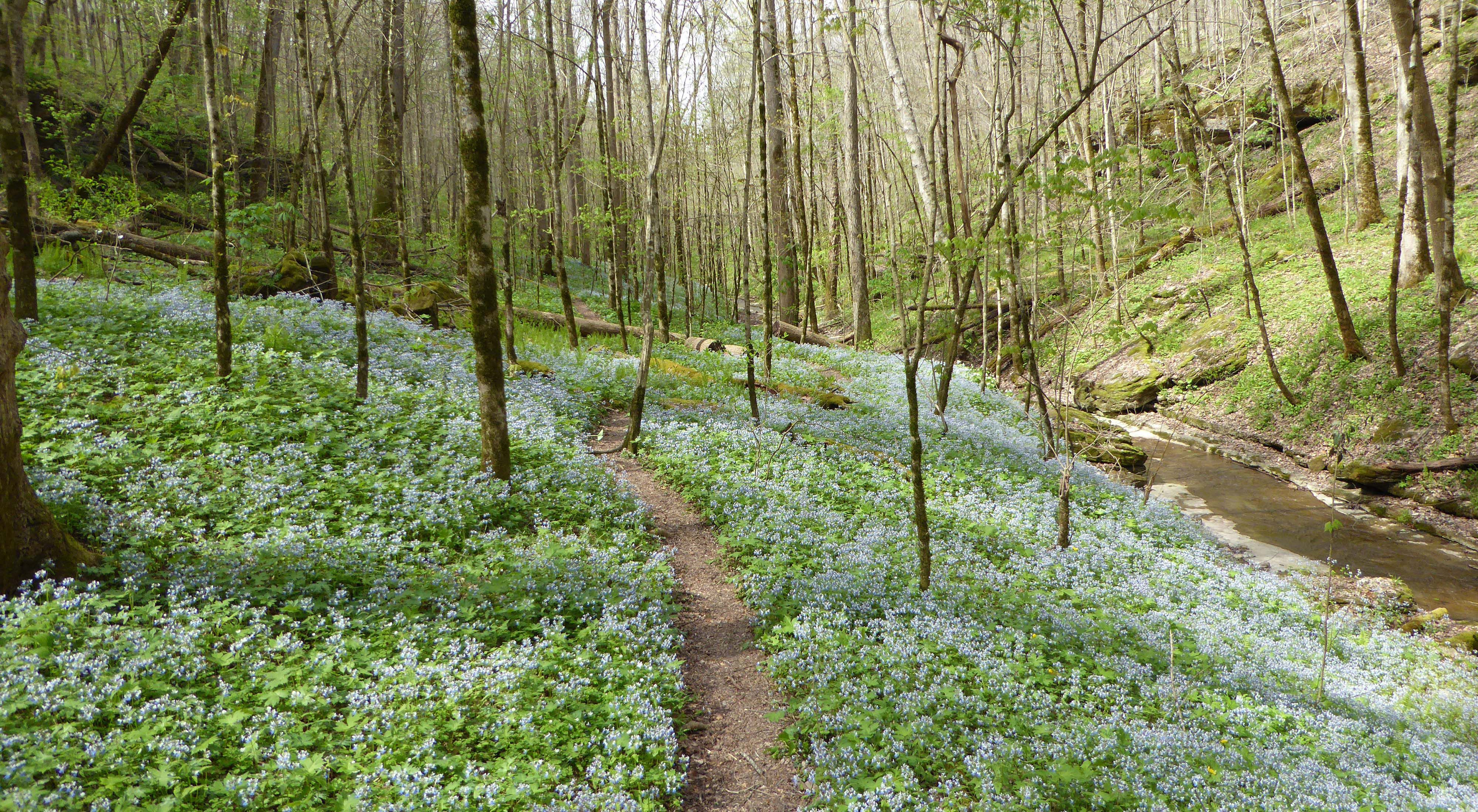 Spring wildflowers bloom along a trail at Taylor Hollow.