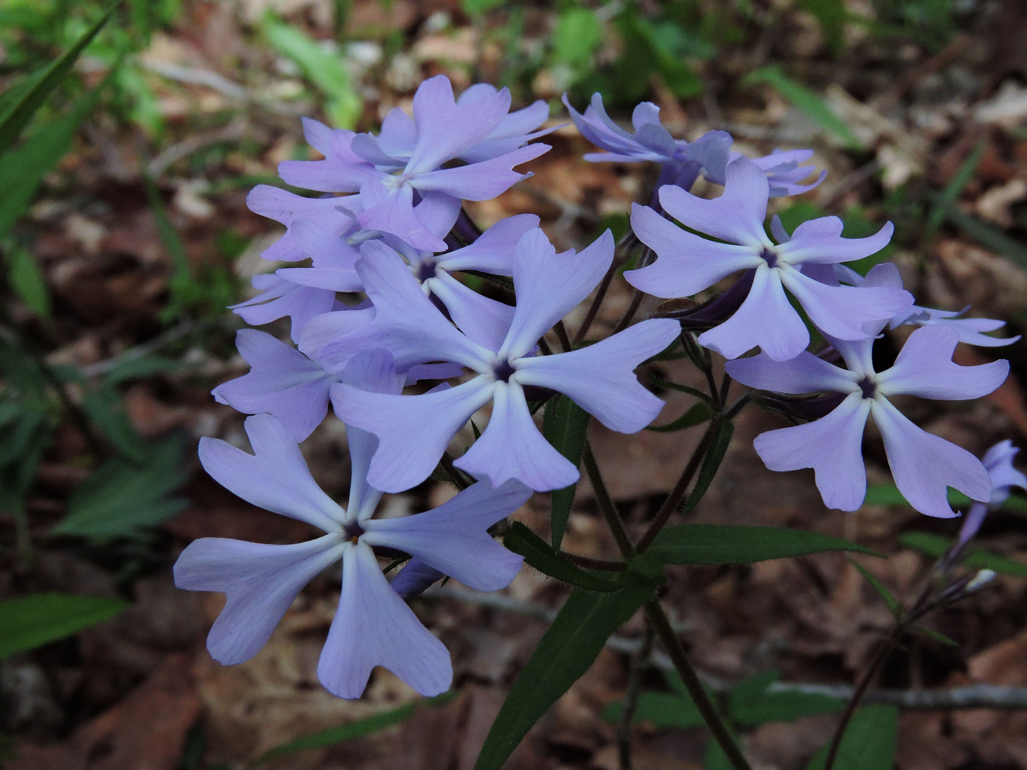 Periwinkle flowers brighten a leafy forest floor.