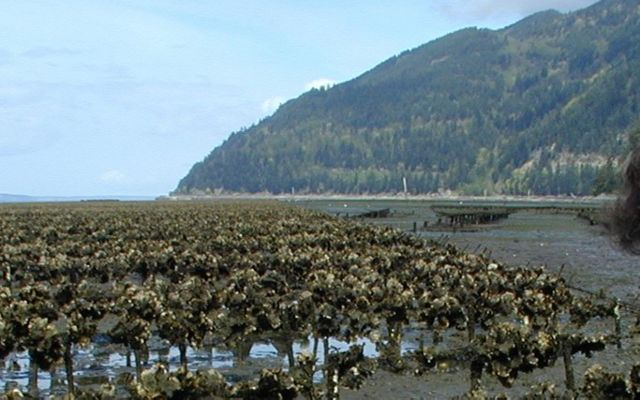 Taylor Shellfish Farms grows oysters in several locations in Washington state.