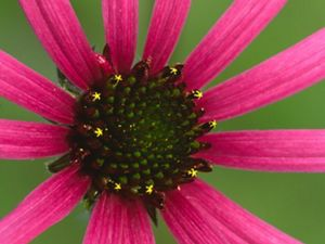 Magenta petals extend from the brown center of a coneflower.