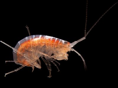 A small crustacean resides in a cave.