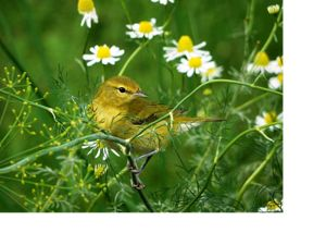 A yellow bird rests among yellow flowers.