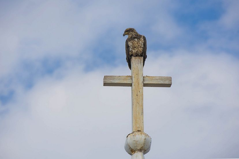 A young bald eagle perches on a cross at the top of a church.