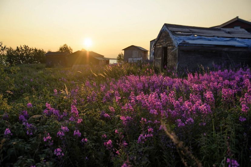 The sunset lights up a patch of fireweed in Łutsël K'é.