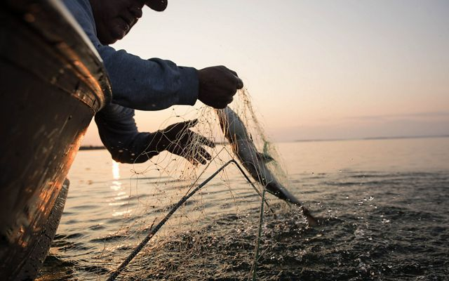 A man pulls a fish from a net.