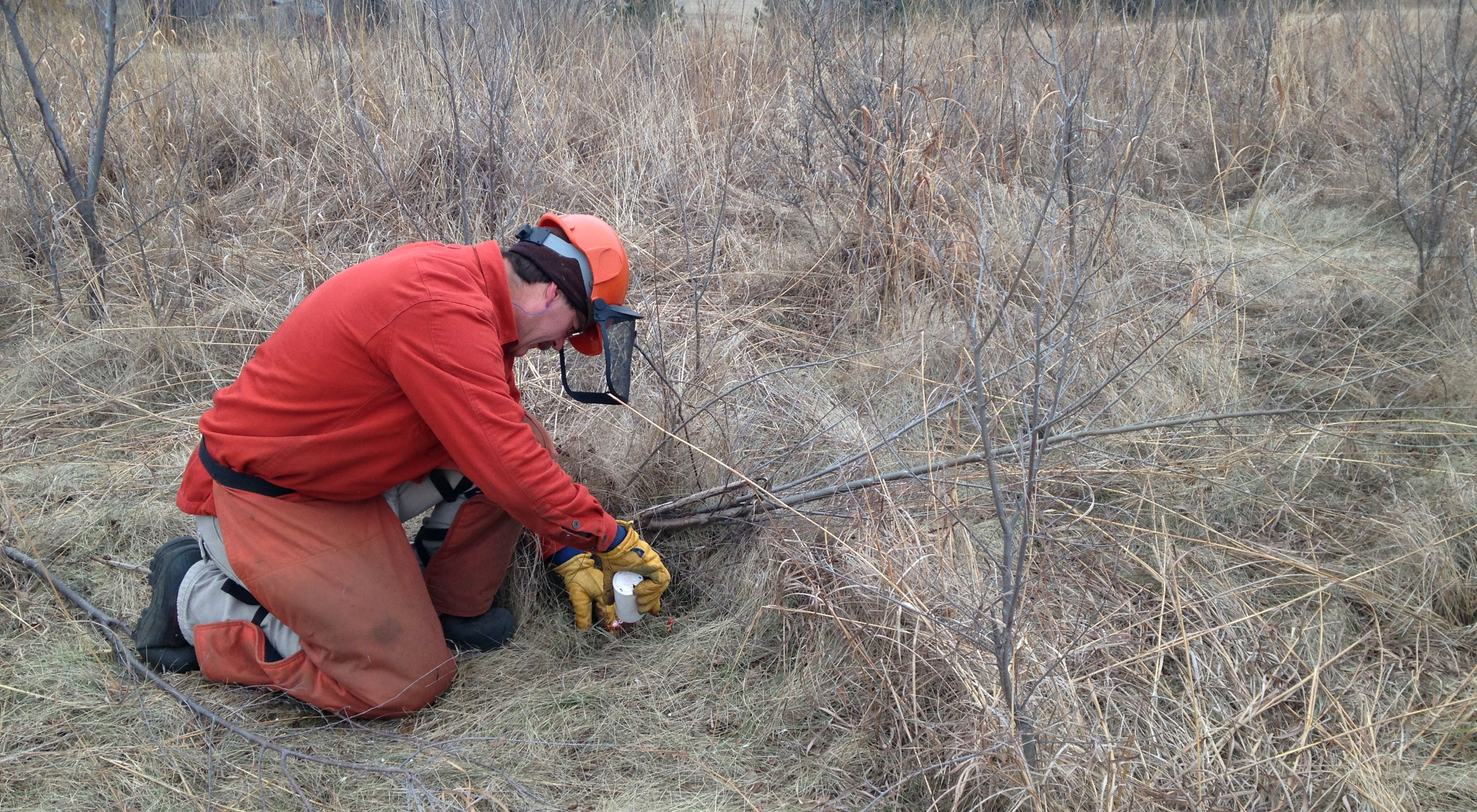 A volunteer in orange chaps applies herbicide to a small invasive tree in a prairie preserve.
