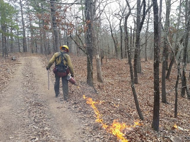 Man walks with a drip torch lighting a fire in a forested area.