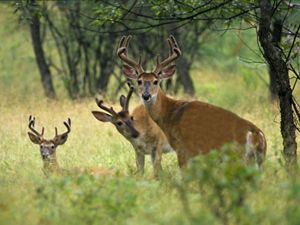 Three White-tailed deer bucks