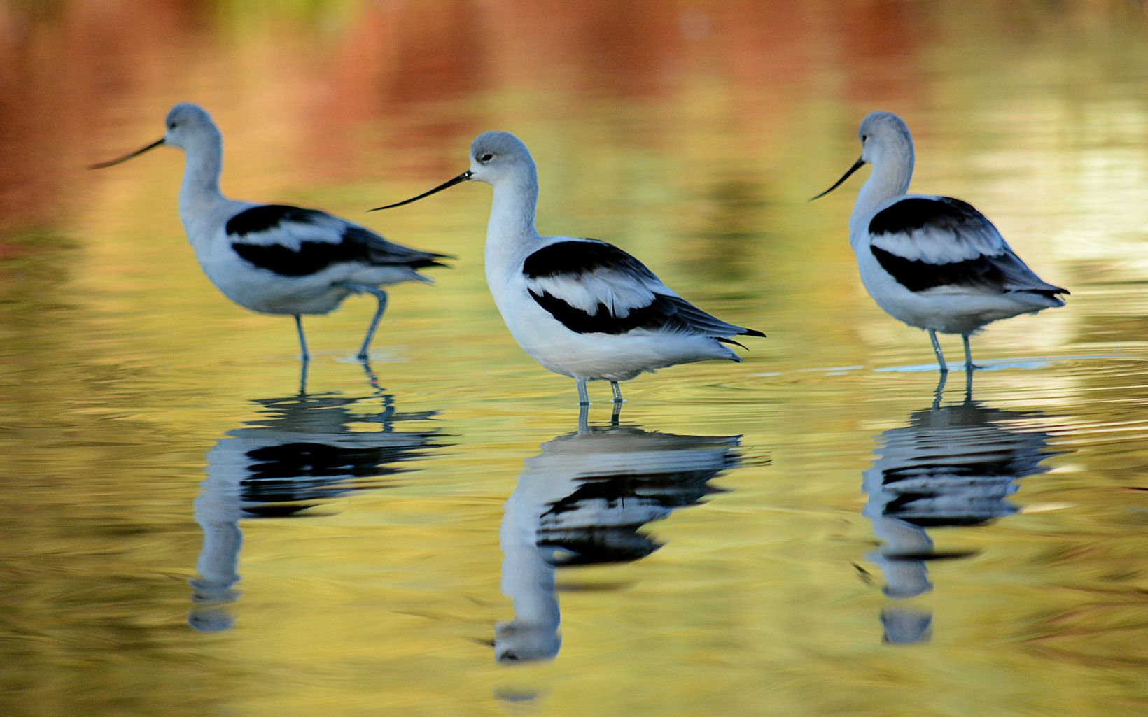 Three black and white wading birds standing in water with fall colors reflecting off of the water surface.