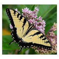 Yellow and black tiger swallowtail on a purple flower.