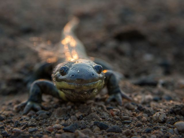 An eastern tiger salamander is looking directly at the camera.