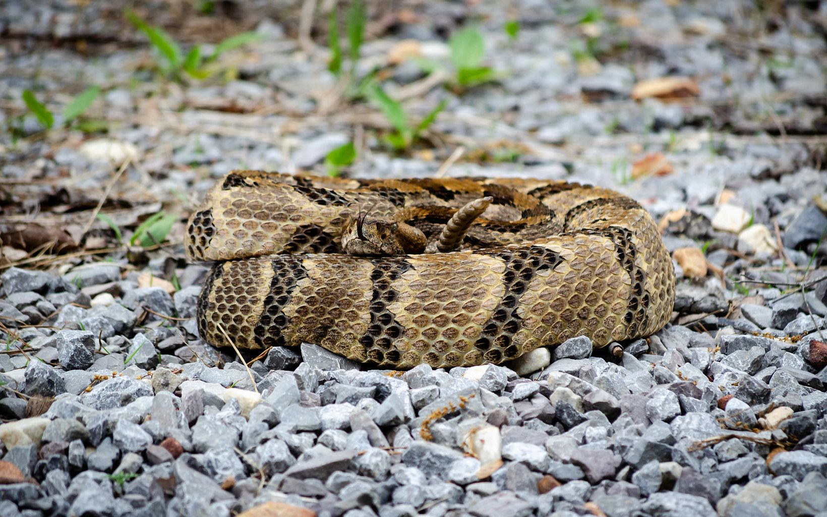 A snake with brown, black and tan markings sit curled up, looking at the camera, on a gravel road.