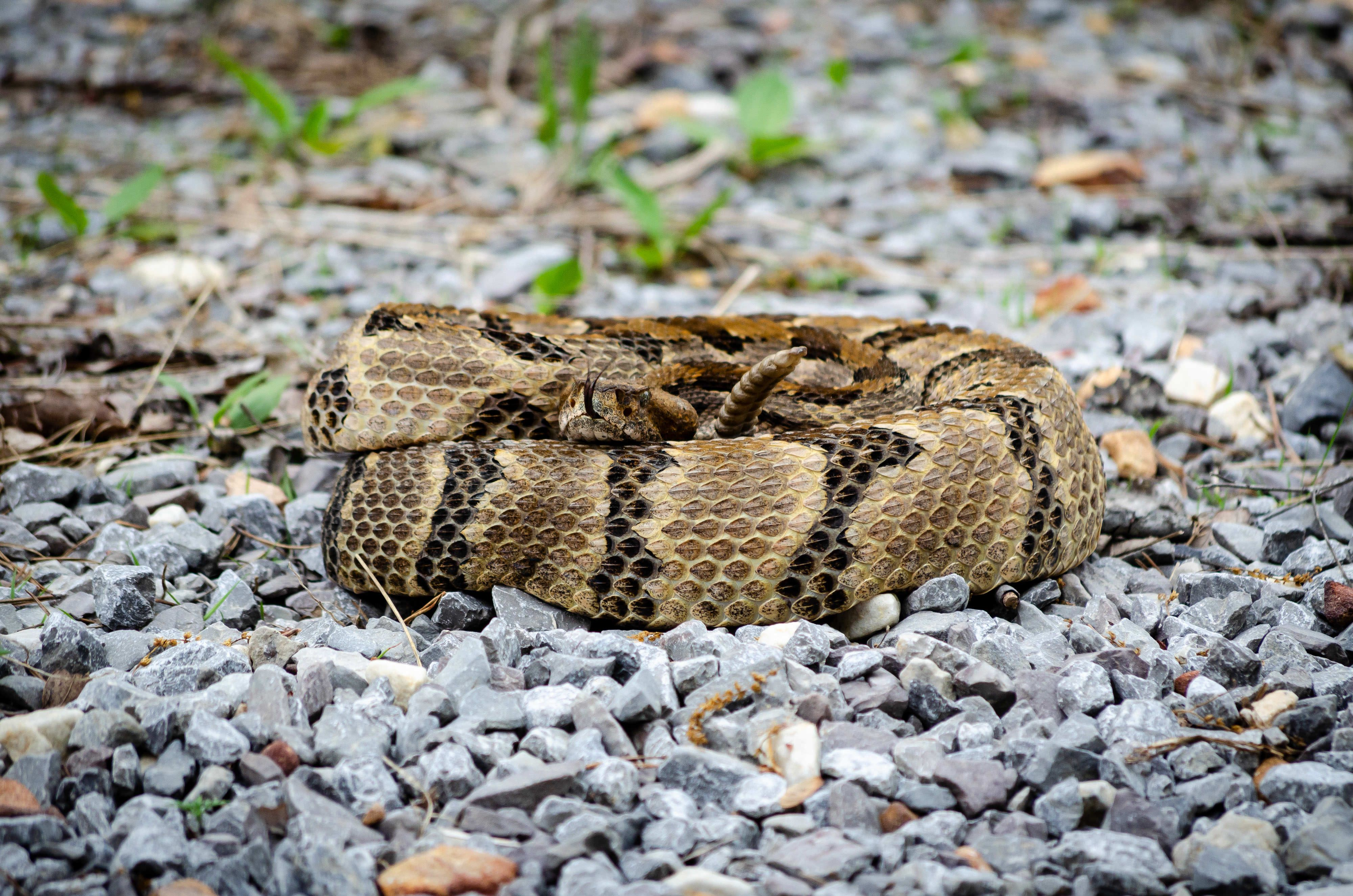 A coiled timber rattlesnake.
