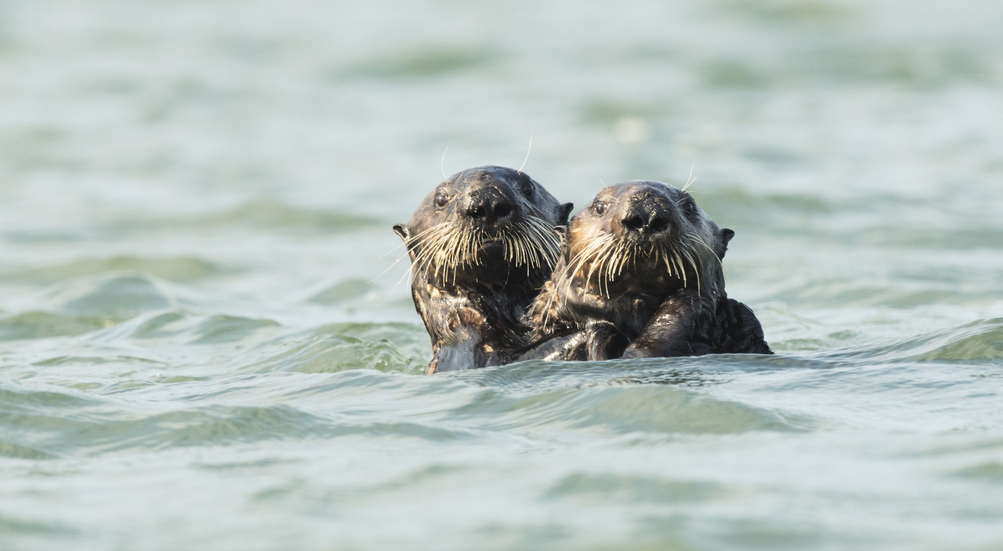 A pair of southern sea otters