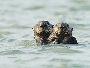Otters in the waters off the Elkhorn Slough, California