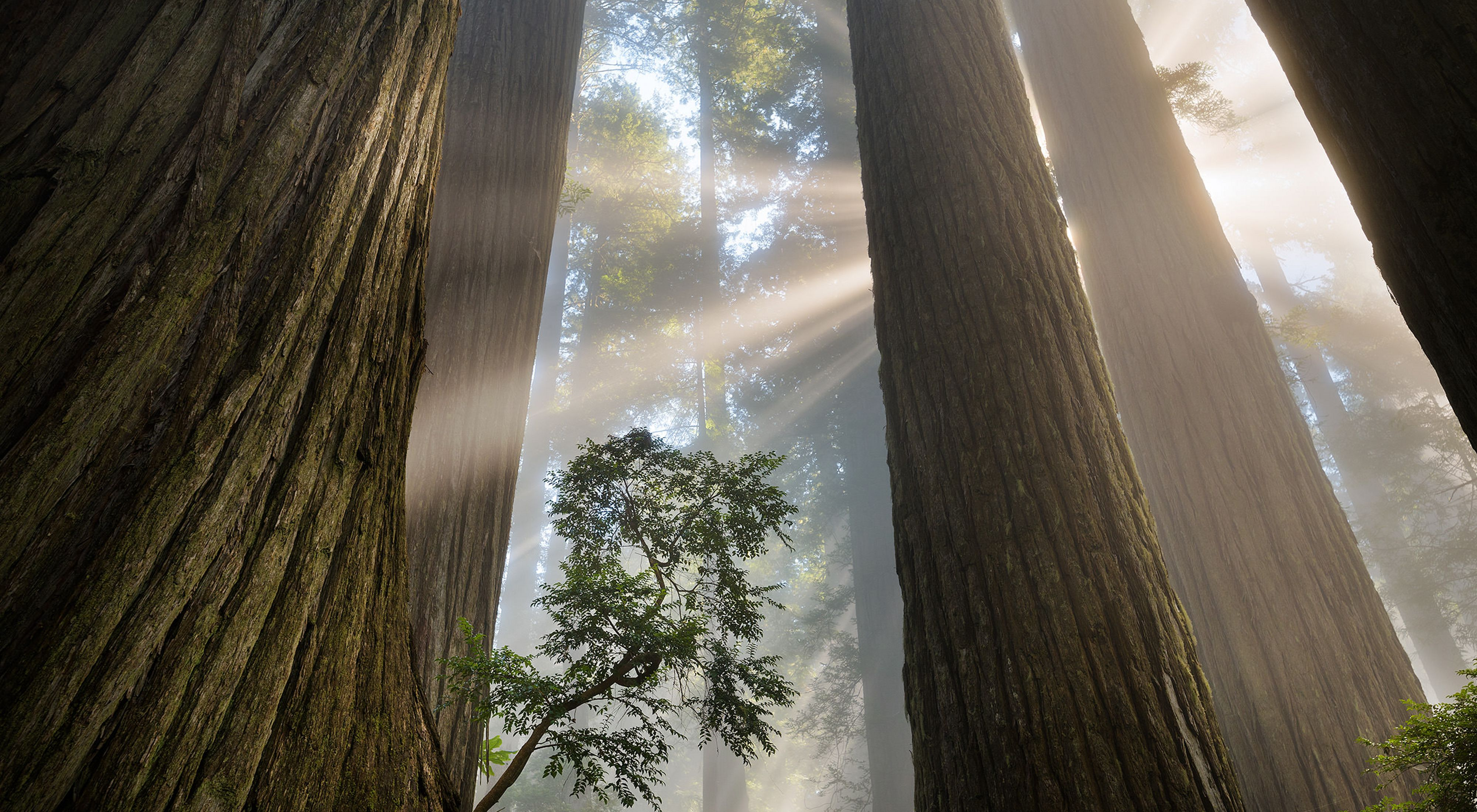towering redwoods light coming through forest