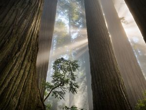 towering redwoods with light coming through in forest