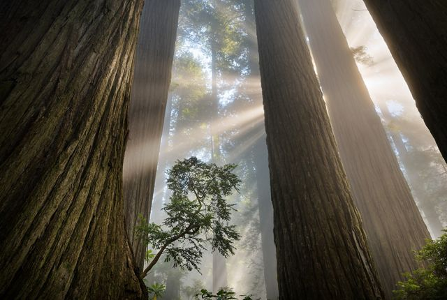 Photo of sunlight streaming through giant redwood trees.
