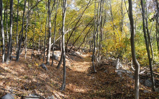 A hiking trail covered with autumn leaves beckons ahead into a forest of tall thin trees.
