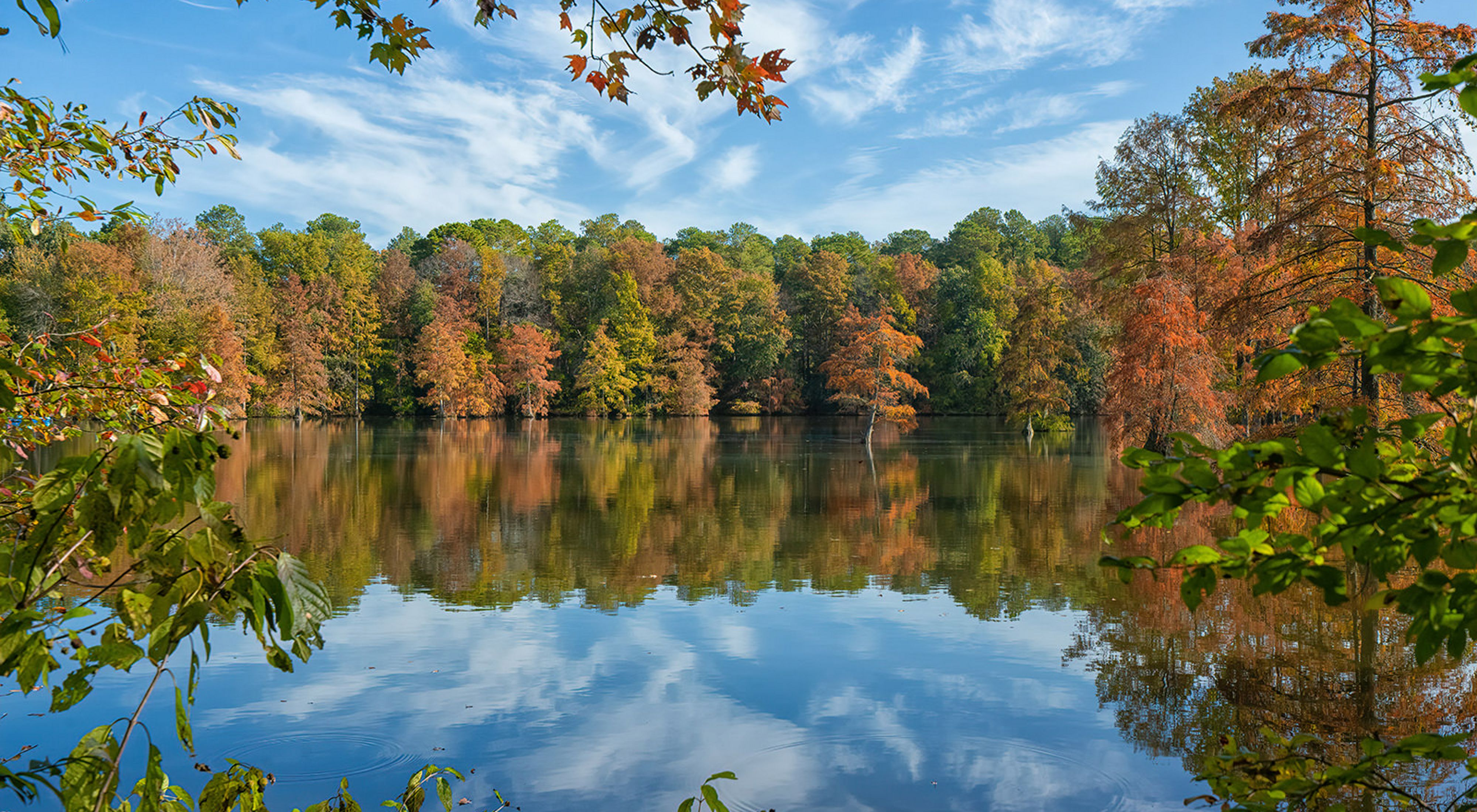 Trees in early fall colors of orange and gold. The still flat water of Trap Pond reflect the trees and blue sky streaked with puffy white clouds above.