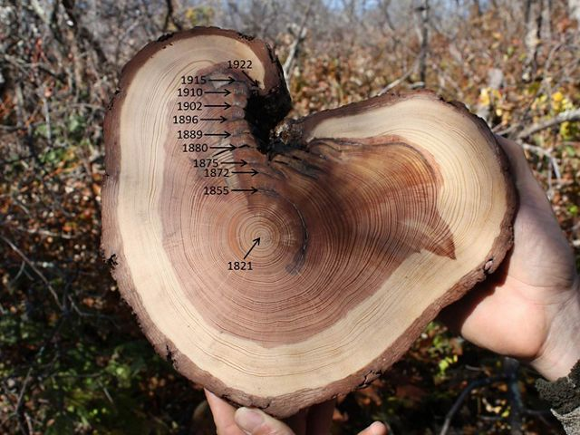Cross section of a tree showing growth rings and fire scars. Pencil notations and captions added onto the photo mark off specific years in the tree's life.