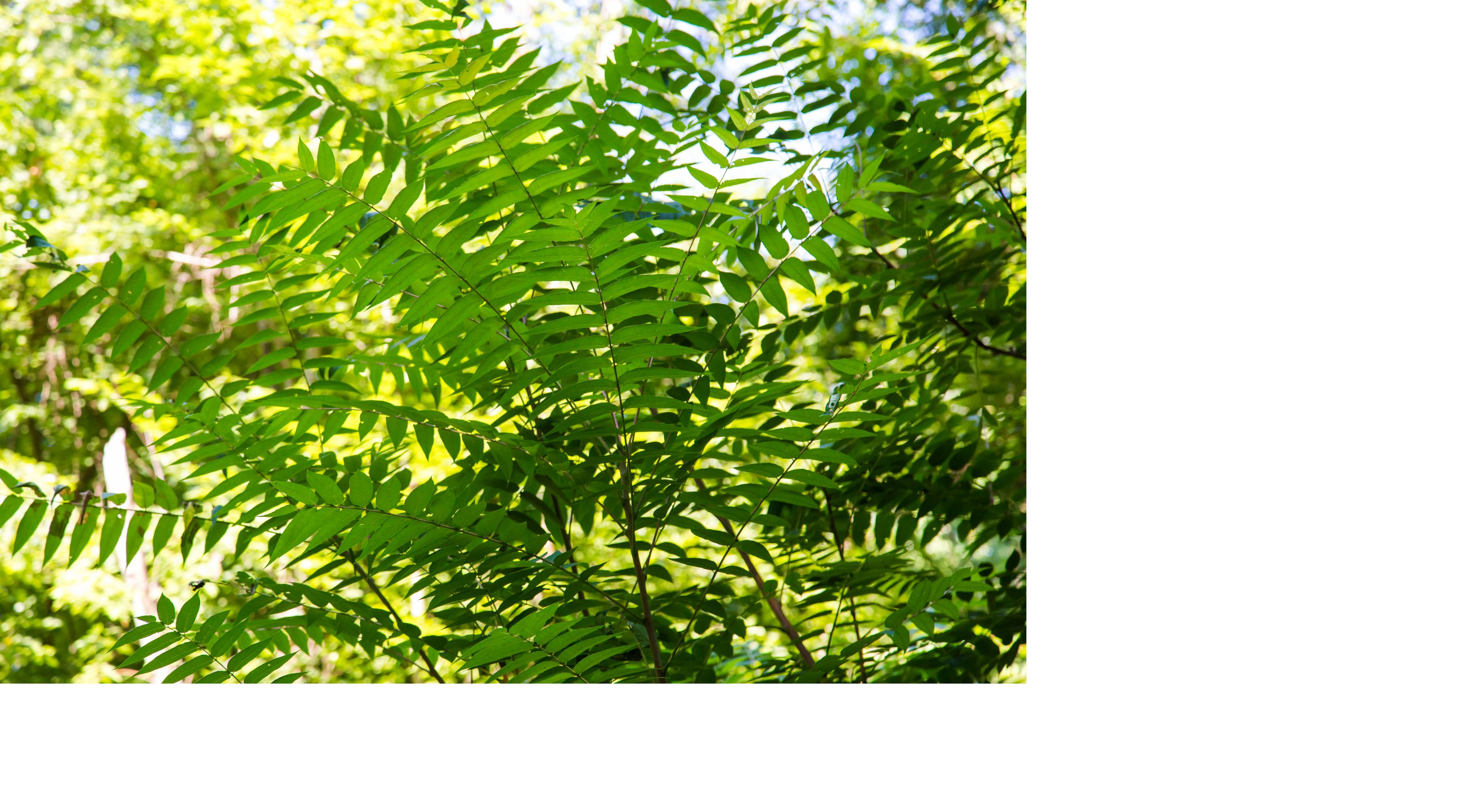 invasive plant species tree of heaven with pinnately compound leaves