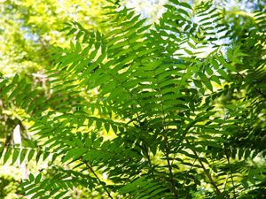 Tree of Heaven Close Up