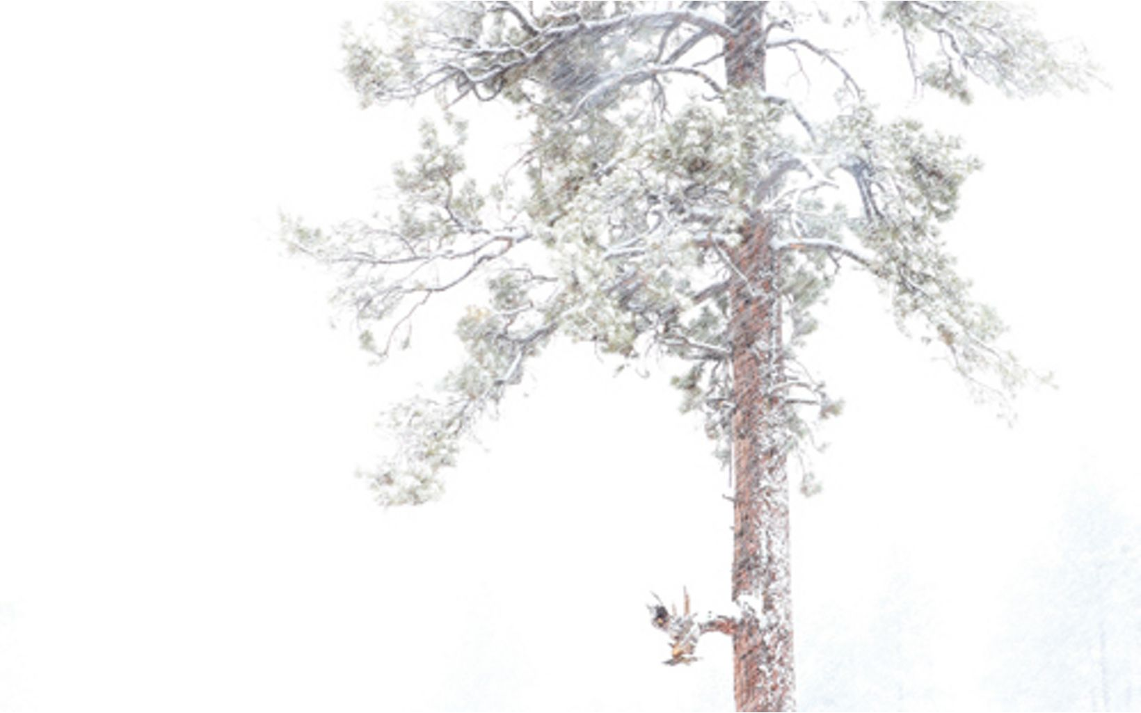A conifer tree coated in white snow against a white sky.