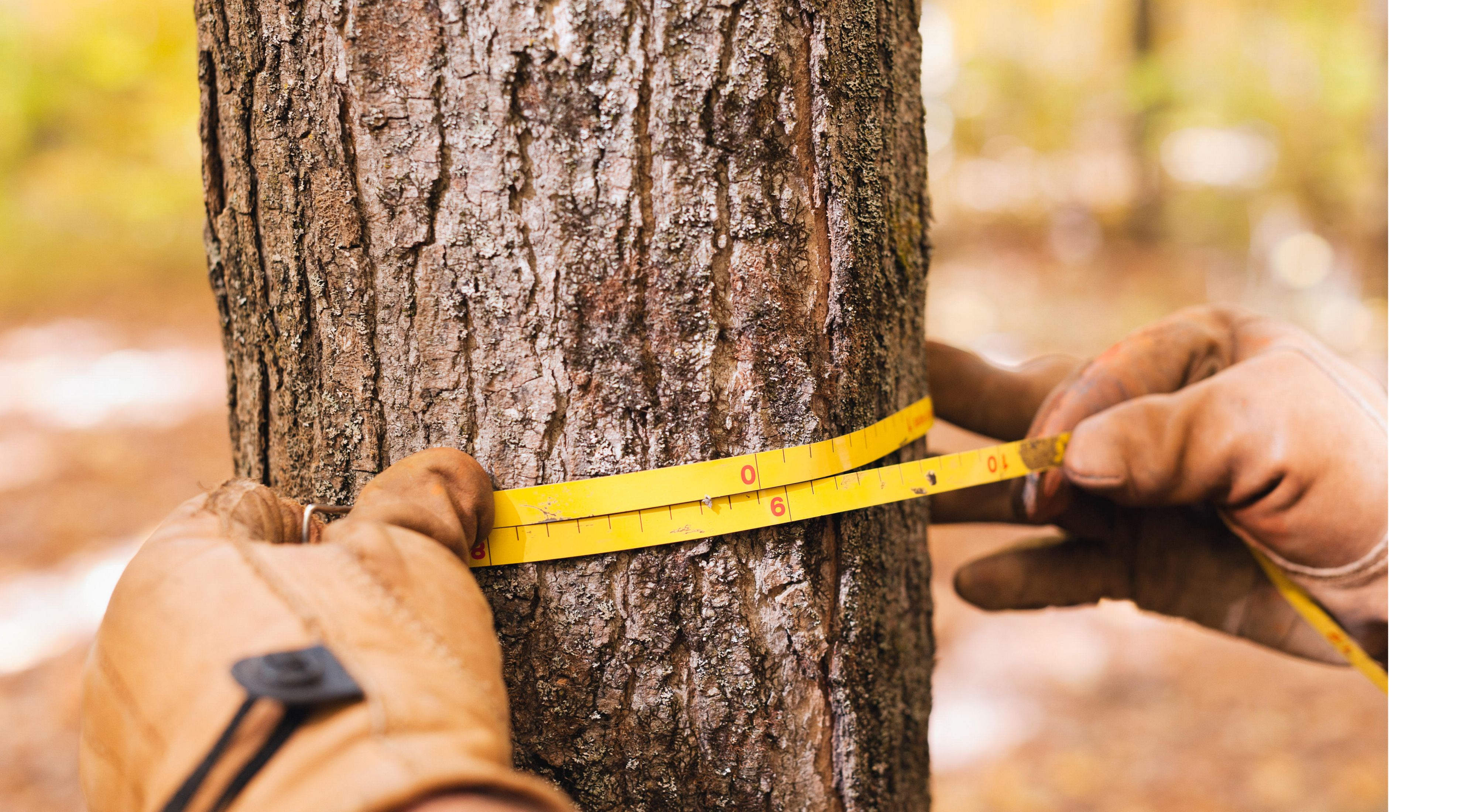 Two gloved hands wrap a measuring tape around a tree.