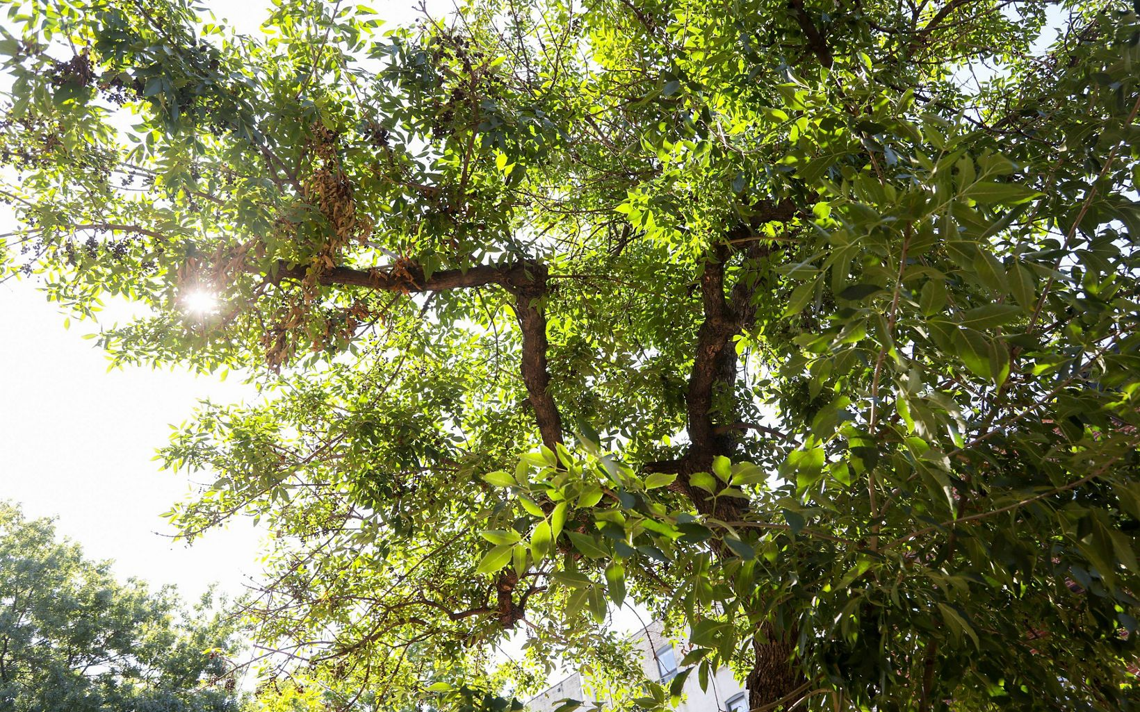 A view looking up into the canopy of a tree. Green tree leaves and a brown tree trunk, going in a few different directions, are in view.