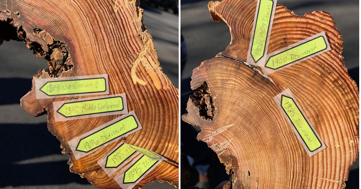 """Samples, or """"cookies,"""" collected from trees are used to identify fire events within the growth rings."""
