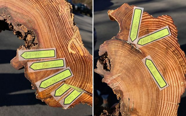 Cut view of two small trees with yellow stickie notes pointing to scars caused by fire.