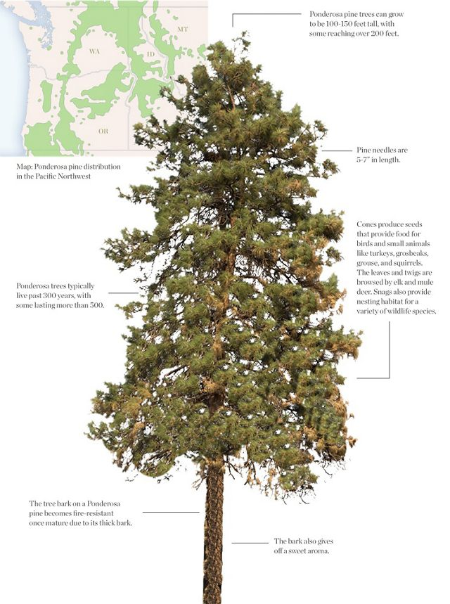 Ponderosa Pine map and details