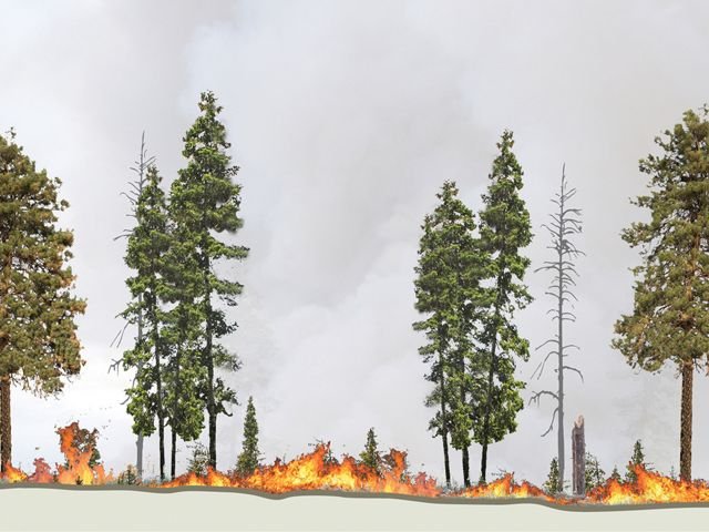 Controlled burns and thinning keep fire burning low through the understory. Maintaining gaps between some trees helps prevent future large crown fires.