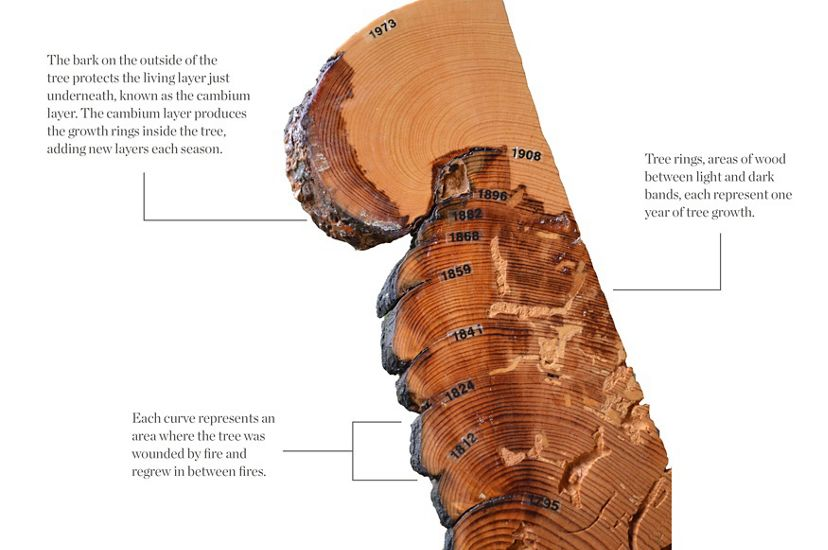 Tree Ring Showing Fire History