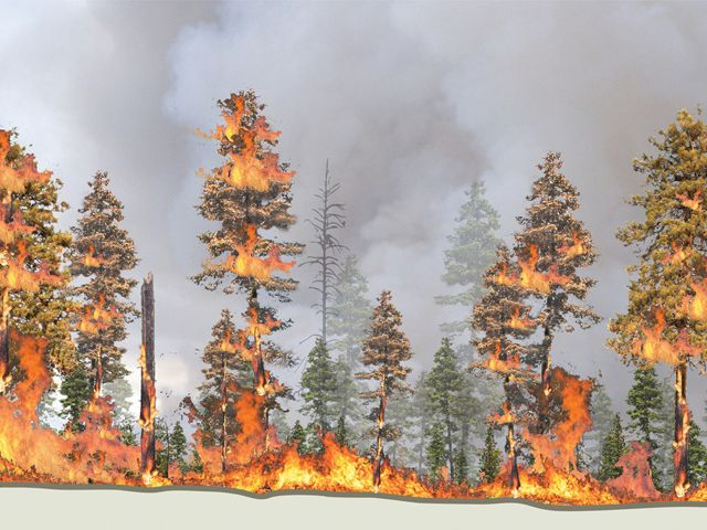 fire consuming pine trees from the ground to canopy