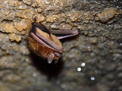 A bat rests in a cave.