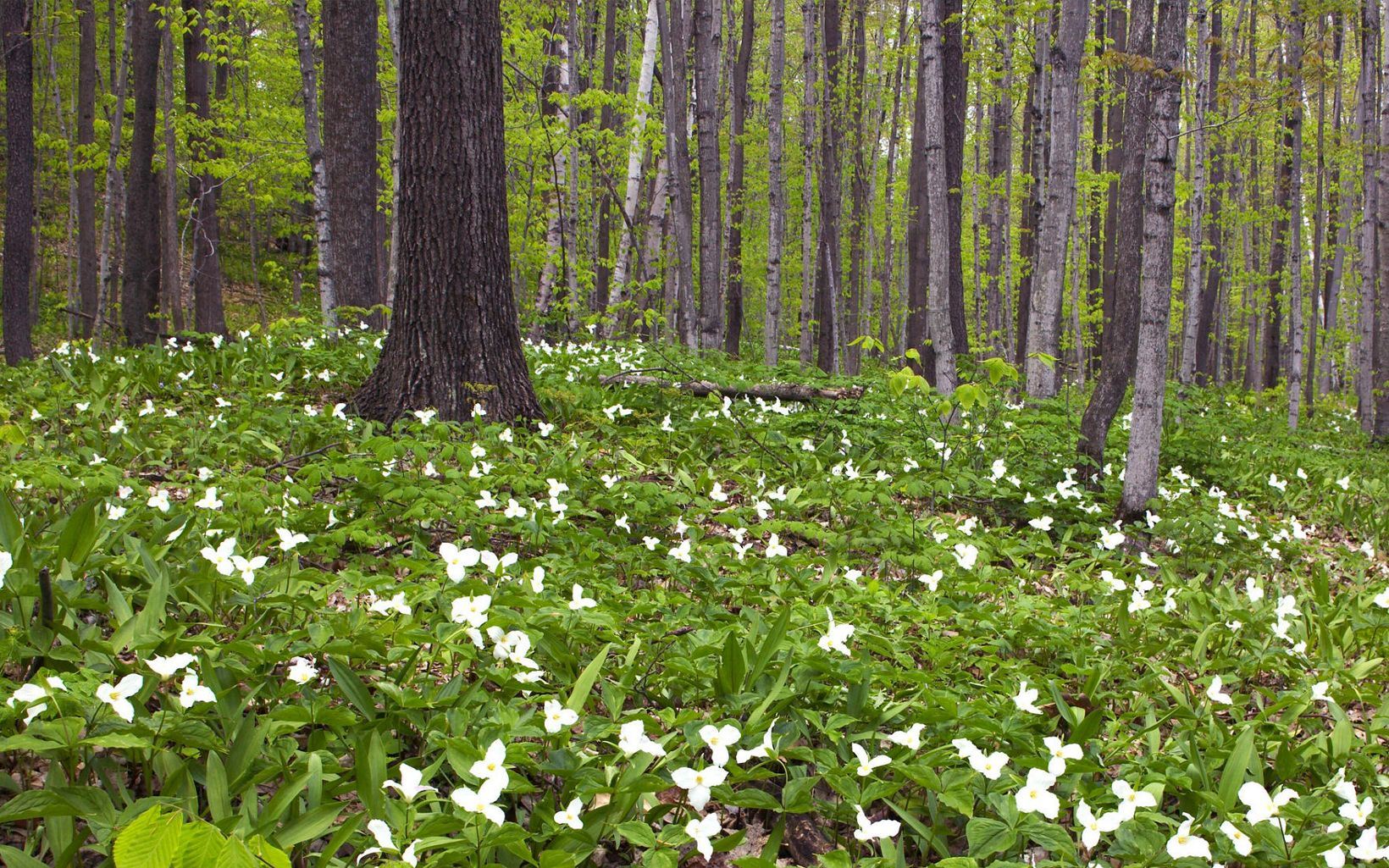 A forest floor blanketed by white flowers.